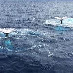 Humpback Whales whale watching iceland and norway