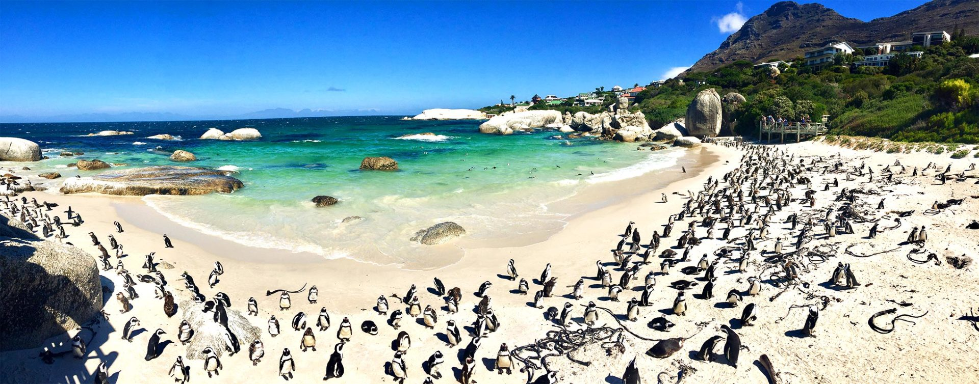 Boulders Beach Penguins Cape Town Panorama