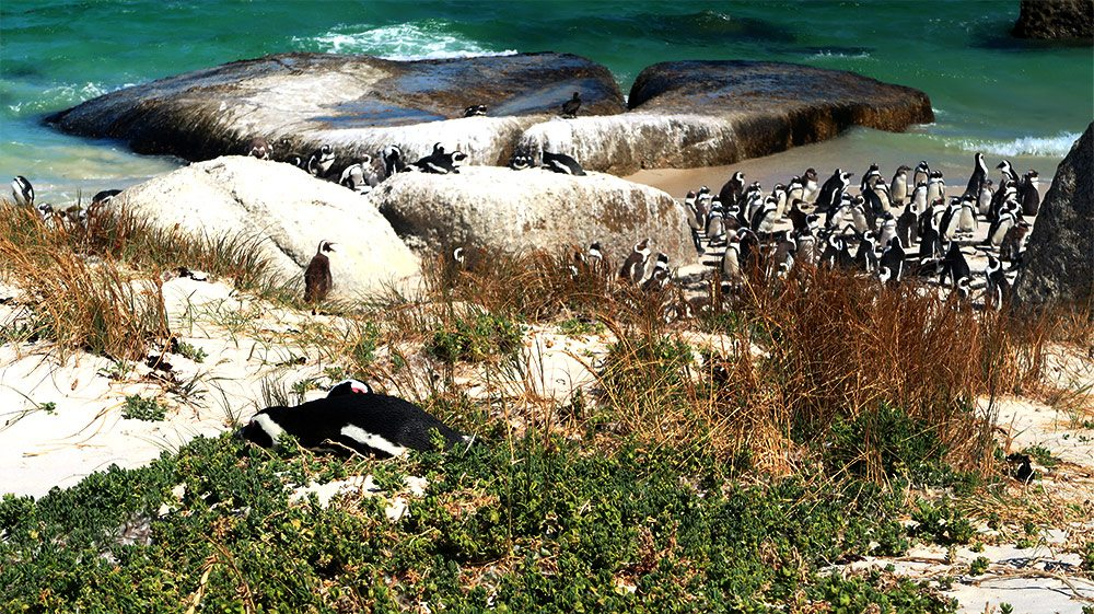 Things to do in Cape Town Boulders Beach Penguins Cape Town