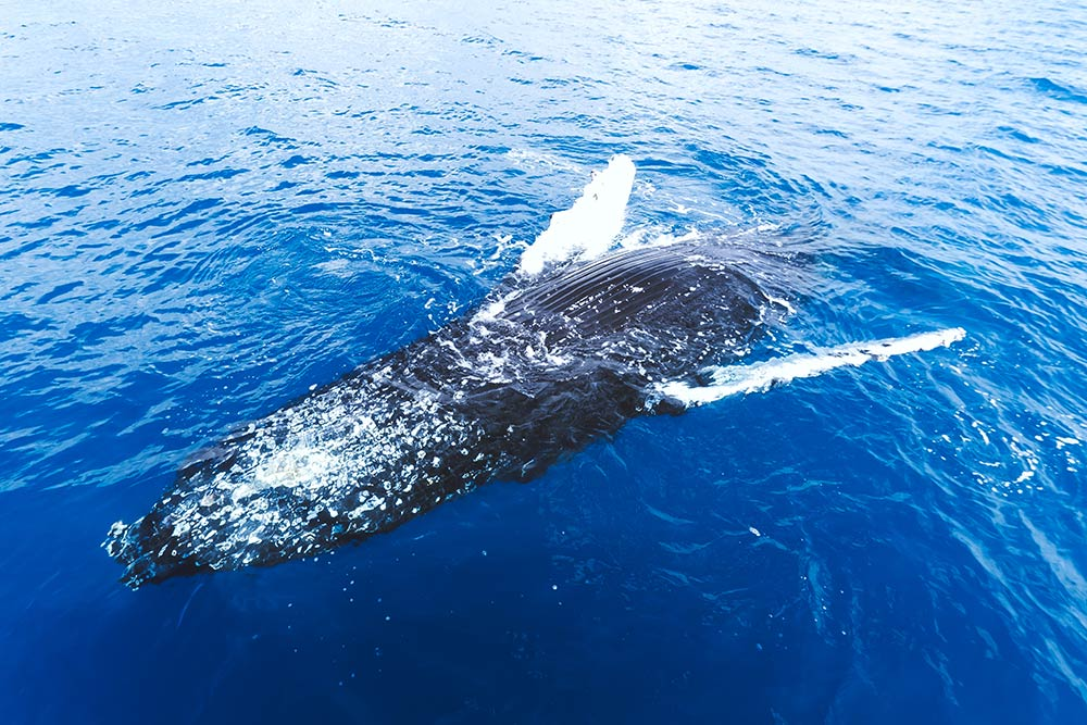 Whale Watching Hervey Bay Belly