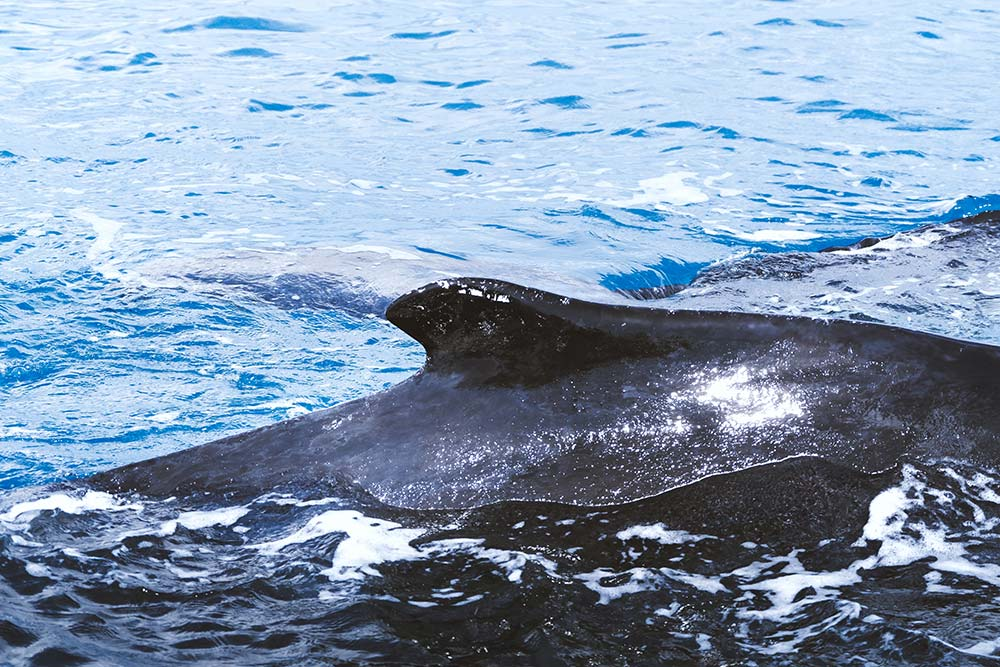 Whale Watching Hervey Bay B