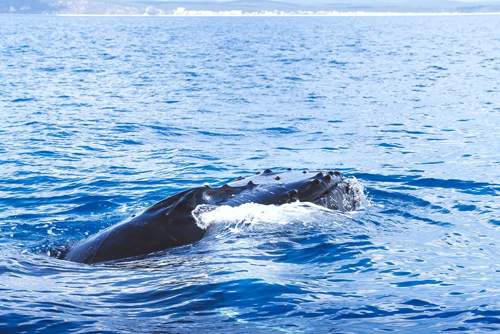 Whale Watching Hervey Bay Head