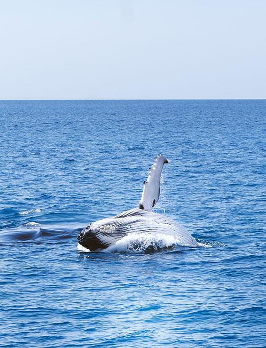 Whale Watching Hervey Bay Humpback Whale Breaching