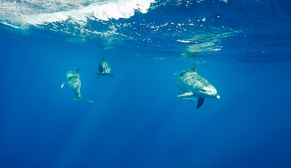 azores travel guide Swimming with Dolphins